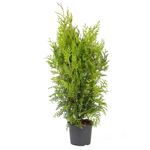 Thuja occidentalis 'Brabant' 40/60
