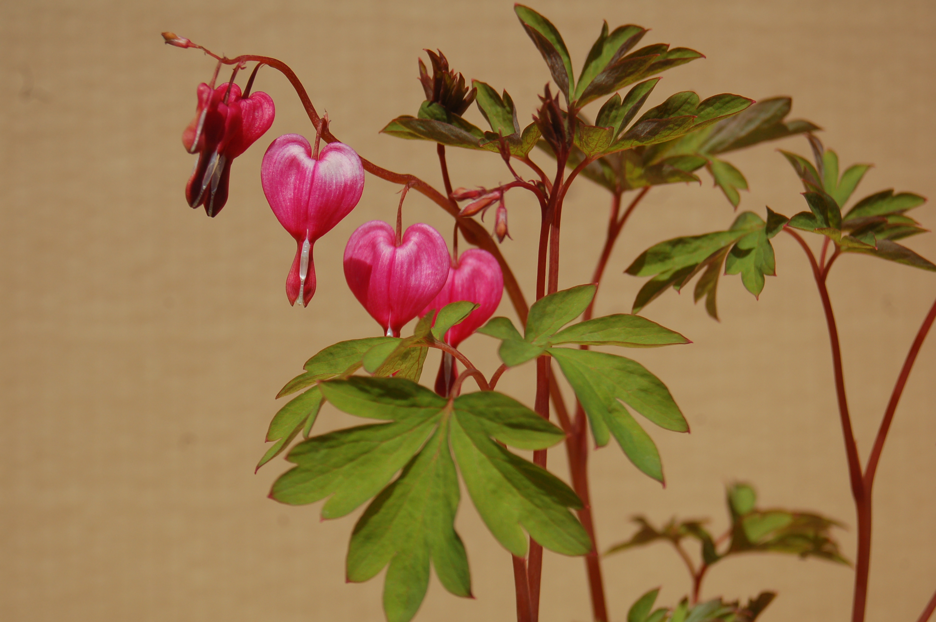 Dicentra spectabilis , Srdcovka
