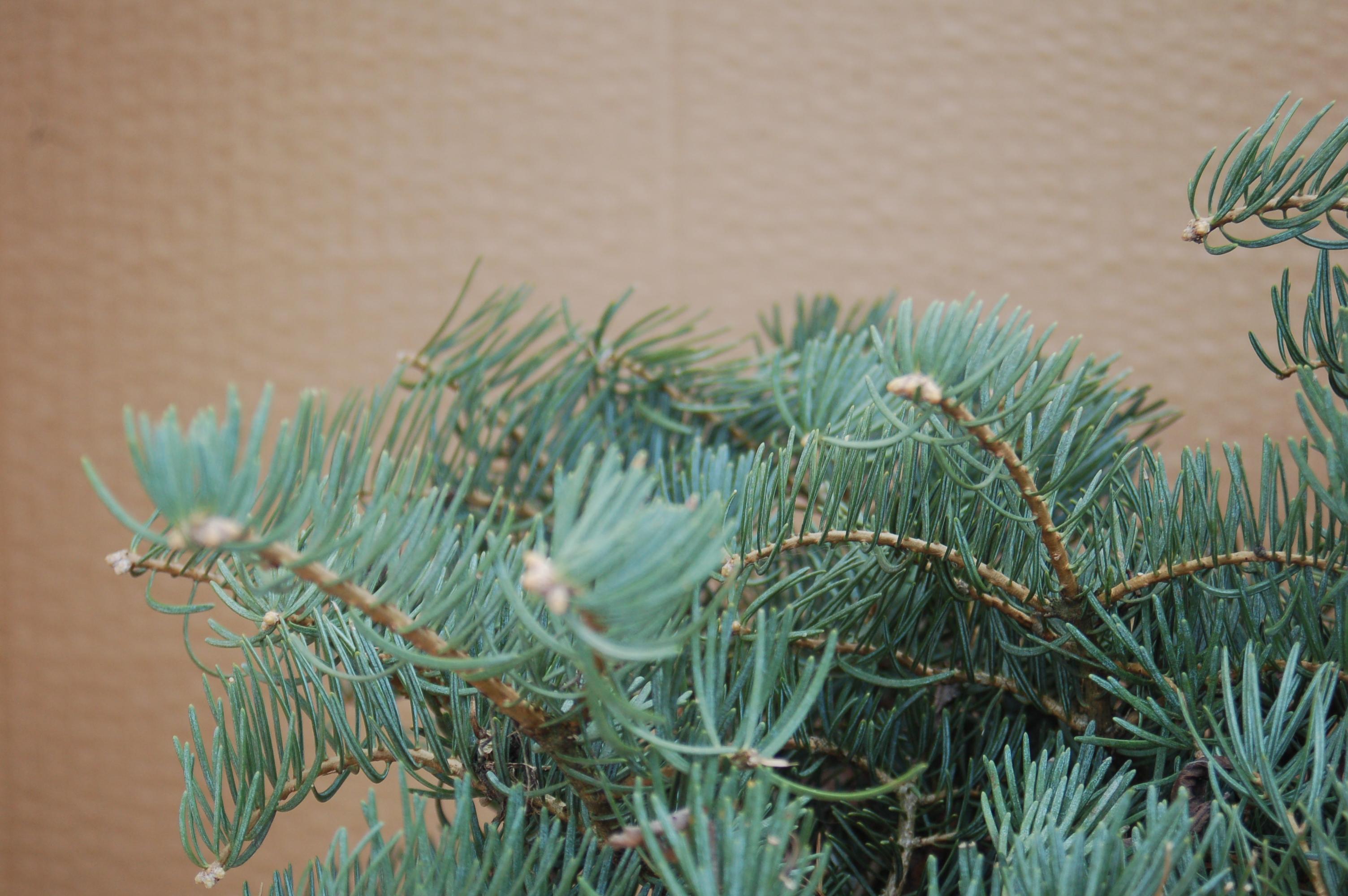 Abies Concolor Compacta Jedle Ojíněná Compacta 3050cm