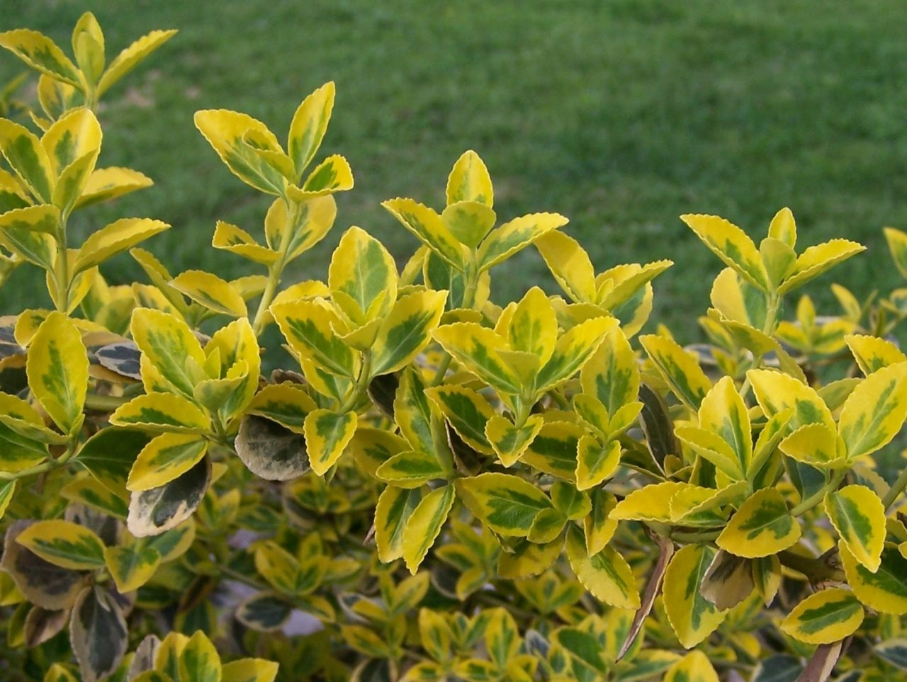 Euonymus fortunei Gold