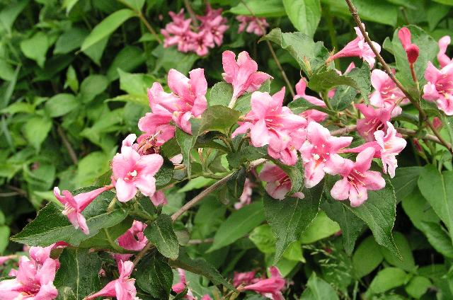 Weigela florida 'Boscoop Glory