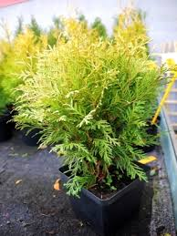 Thuja occidentalis 'Danica' Aurea