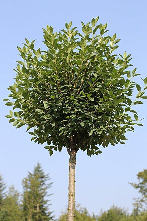 listnat stromy a ke e listnat stromy prunus fruticosa 39 globosa 39 km nek 100cm internetov. Black Bedroom Furniture Sets. Home Design Ideas