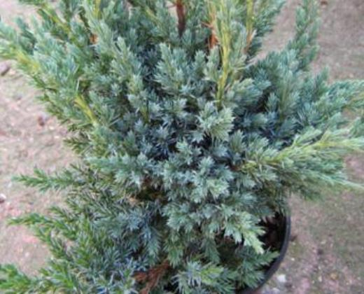 Jalovec Meyer, Juniperus communis ´Meyer´