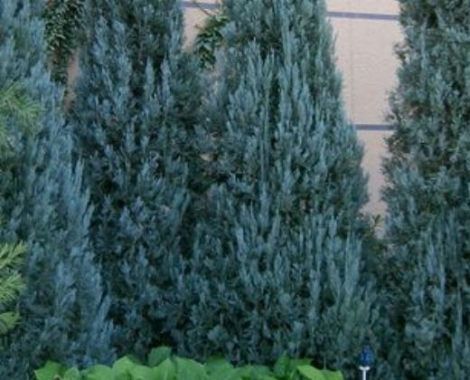 Jalovec, Juniperus scopulorum 'Blue Arrow'