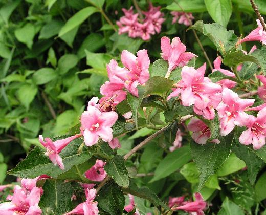 Weigélie, Weigela florida 'Boscoop Glory